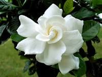 Gardenias Bouquet of Poems