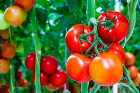 Poems about Tomatoes NaPoWriMo Floetry by JulietKego